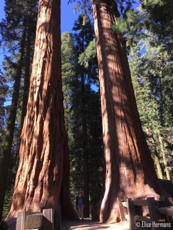11. Sequoia (6)